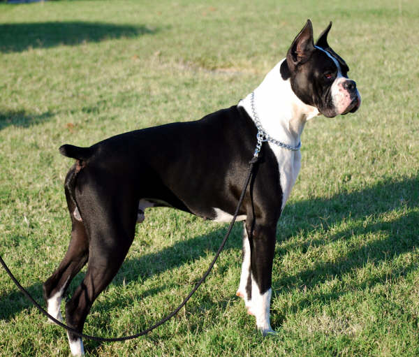 AKC Black Boxer Champion Boxer Puppy For Sale In Texas ...